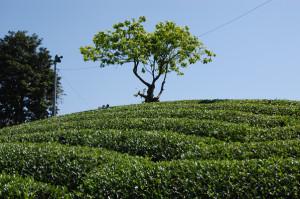 2015年茶畑